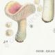 DÉTAILS 03   Mycologie - Champignon - Russula - Nitida Pers Pl.64
