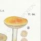 DÉTAILS 04   Mycologie - Champignon - Russula - Nitida Pers Pl.64