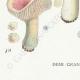 DÉTAILS 07   Mycologie - Champignon - Russula - Nitida Pers Pl.64