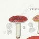 DÉTAILS 01 | Mycologie - Champignon - Russula - Atrorubens Pl.65