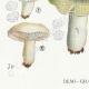 DÉTAILS 03 | Mycologie - Champignon - Russula - Atrorubens Pl.65