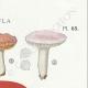 DÉTAILS 04 | Mycologie - Champignon - Russula - Atrorubens Pl.65