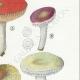 DÉTAILS 05 | Mycologie - Champignon - Russula - Atrorubens Pl.65