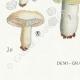 DÉTAILS 07 | Mycologie - Champignon - Russula - Atrorubens Pl.65