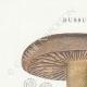 DÉTAILS 01 | Mycologie - Champignon - Russula - Nigricans Pl.66