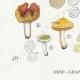 DÉTAILS 03 | Mycologie - Champignon - Russula - Nigricans Pl.66
