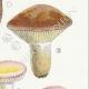 DÉTAILS 05 | Mycologie - Champignon - Russula - Nigricans Pl.66