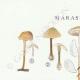 DÉTAILS 01 | Mycologie - Champignon - Marasmius - Scorodinus Pl.67
