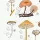 DÉTAILS 02 | Mycologie - Champignon - Marasmius - Scorodinus Pl.67