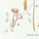 DÉTAILS 03 | Mycologie - Champignon - Marasmius - Scorodinus Pl.67