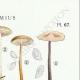 DÉTAILS 04 | Mycologie - Champignon - Marasmius - Scorodinus Pl.67