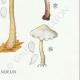 DÉTAILS 06 | Mycologie - Champignon - Marasmius - Scorodinus Pl.67