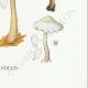DÉTAILS 08 | Mycologie - Champignon - Marasmius - Scorodinus Pl.67