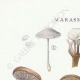 DETAILS 01 | Mycology - Mushroom - Marasmius - Scorteus Pl.68