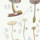 DETAILS 02 | Mycology - Mushroom - Marasmius - Scorteus Pl.68