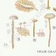 DETAILS 03 | Mycology - Mushroom - Marasmius - Scorteus Pl.68