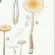 DETAILS 05 | Mycology - Mushroom - Marasmius - Scorteus Pl.68