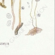 DETAILS 08 | Mycology - Mushroom - Marasmius - Scorteus Pl.68