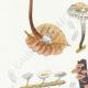 DETAILS 02   Mycology - Mushroom - Marasmius - Mulleus Pl.69
