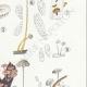 DETAILS 05   Mycology - Mushroom - Marasmius - Mulleus Pl.69