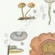 DETAILS 02 | Mycology - Mushroom - Marasmius - Panus Pl.70