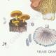 DETAILS 03 | Mycology - Mushroom - Marasmius - Panus Pl.70