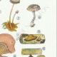 DETAILS 05 | Mycology - Mushroom - Marasmius - Panus Pl.70