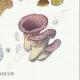 DETAILS 06 | Mycology - Mushroom - Marasmius - Panus Pl.70