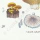 DETAILS 07 | Mycology - Mushroom - Marasmius - Panus Pl.70