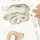 DETAILS 02 | Mycology - Mushroom - Panus - Lentinus Pl.71