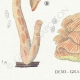 DETAILS 03 | Mycology - Mushroom - Panus - Lentinus Pl.71