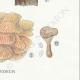 DETAILS 06 | Mycology - Mushroom - Panus - Lentinus Pl.71