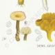 DETAILS 03 | Mycology - Mushroom - Lentinus Pl.72