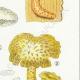 DETAILS 05 | Mycology - Mushroom - Lentinus Pl.72
