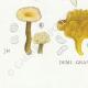 DETAILS 07 | Mycology - Mushroom - Lentinus Pl.72