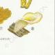DETAILS 08 | Mycology - Mushroom - Lentinus Pl.72