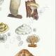 DÉTAILS 05 | Mycologie - Champignon - Lentinus - Trogia - Schyzophyllum - Volvaria Pl.73