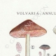 DÉTAILS 01 | Mycologie - Champignon - Volvaria - Annularia - Pluteus Pl.74