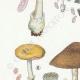 DÉTAILS 02 | Mycologie - Champignon - Volvaria - Annularia - Pluteus Pl.74