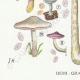 DÉTAILS 03 | Mycologie - Champignon - Volvaria - Annularia - Pluteus Pl.74