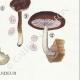 DÉTAILS 06 | Mycologie - Champignon - Volvaria - Annularia - Pluteus Pl.74