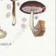 DÉTAILS 08 | Mycologie - Champignon - Volvaria - Annularia - Pluteus Pl.74