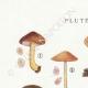 DETAILS 01 | Mycology - Mushroom - Pluteus Pl.75