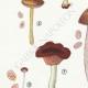 DETAILS 02 | Mycology - Mushroom - Pluteus Pl.75
