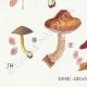 DETAILS 03 | Mycology - Mushroom - Pluteus Pl.75