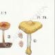 DETAILS 04 | Mycology - Mushroom - Pluteus Pl.75
