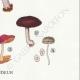 DETAILS 06 | Mycology - Mushroom - Pluteus Pl.75