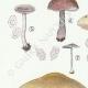 DÉTAILS 02 | Mycologie - Champignon - Entoloma - Jubatum Pl.76
