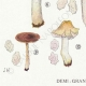 DETAILS 03 | Mycology - Mushroom - Entoloma - Batchianum Pl.77