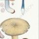 DETAILS 05 | Mycology - Mushroom - Entoloma - Batchianum Pl.77